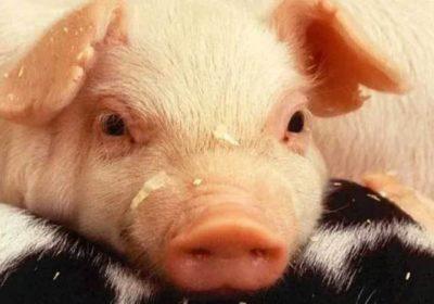 exportaciones-carne-de-cerdo