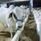 México enfrenta problemas para exportaciones de bovinos a Estados Unidos, admite Tatiana Clouthier